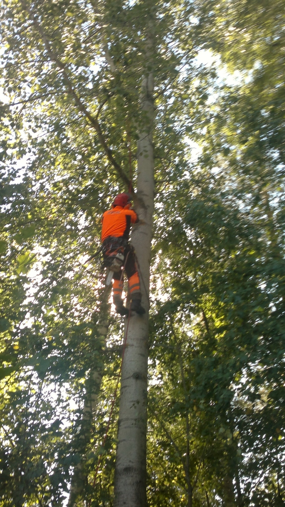 Rajantakaisia haittoja voi vähentää puiden hoidolla. Kuva  ammattimiehestä puussa oksia katkomassa 2013.